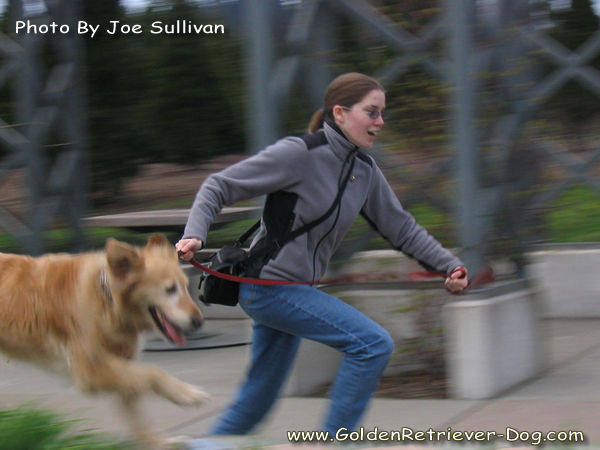 Golden Retriever Running With Owner
