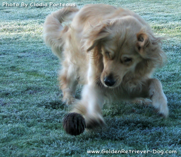 Golden Retriever Frosty Morning