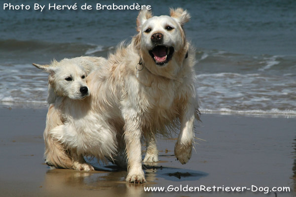 Golden Retrievers On Beach