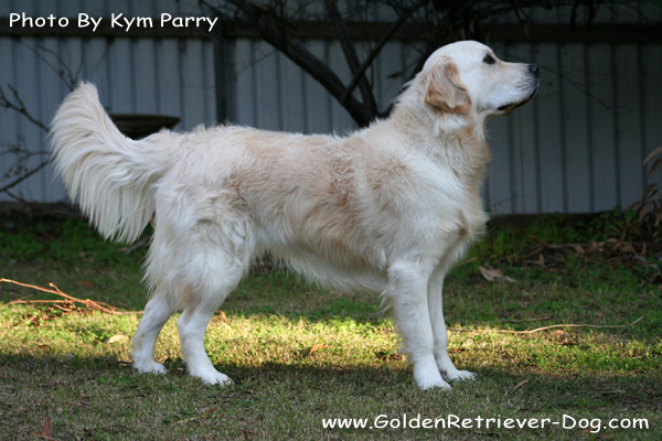 Golden Retriever Stance