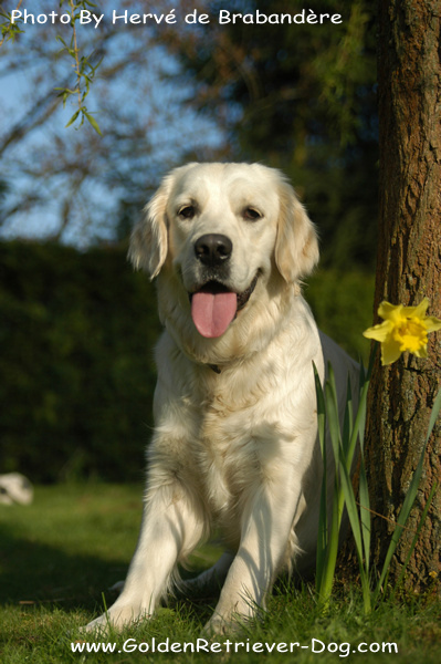 Young Golden Retriever Daffodil