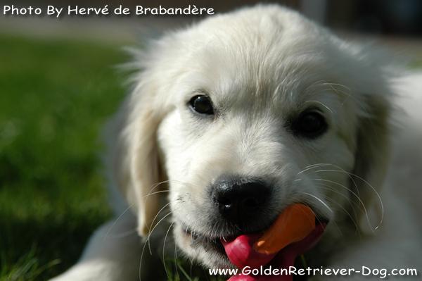 Golden Retriever Puppy 10 weeks old