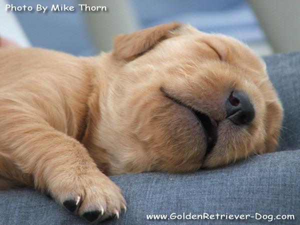Golden Retriever Puppy Asleep On Lap