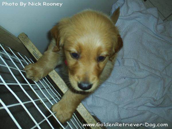 Retriever Puppy Adoption